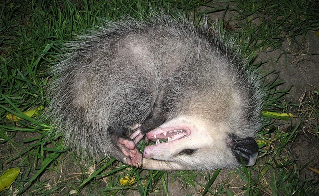 Dead Possum (No. 1)
